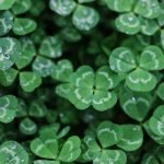 four leaf clover-luck